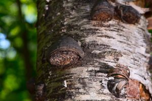 Heal Cancer with the King of All Mushrooms - Chaga