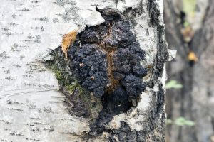 what is chaga