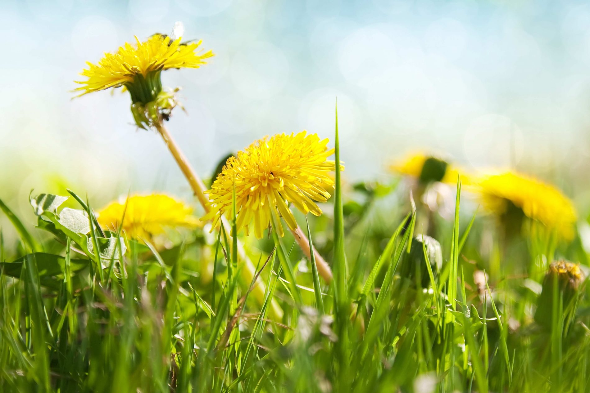Dandelions fight cancer