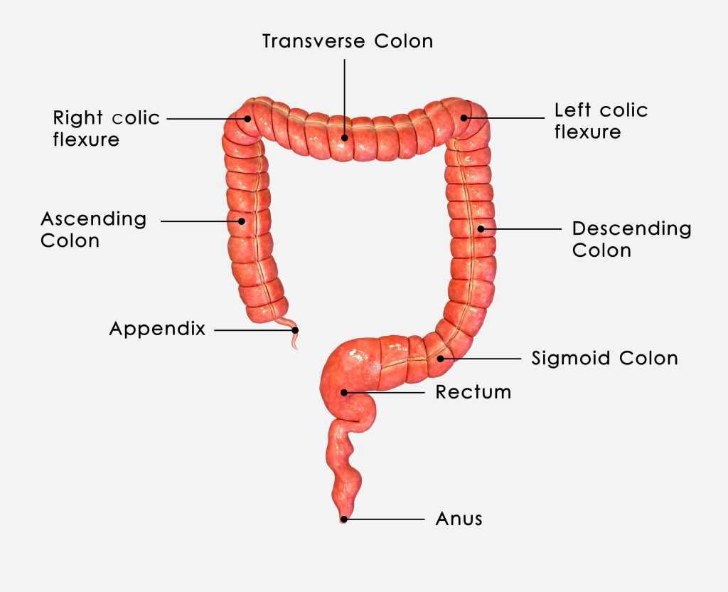 function of the colon