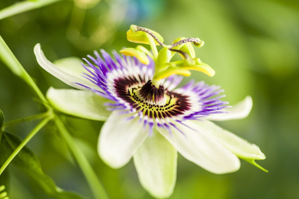 passion flower herb